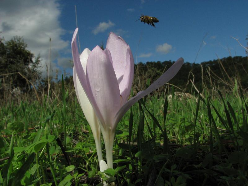 pollinator and Colchicum balansae (2 km on Bozburun junction from Marmaris - Datça road, limestone, 15m altitude)