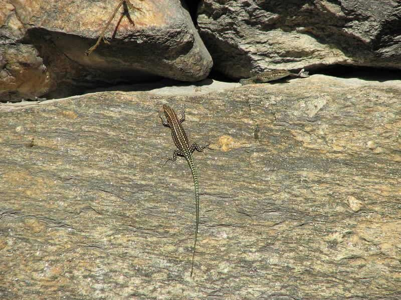 Lizard,identification by Dr. Konrad Mebert, Switzerland and Dr. Bayram Göcmen, Turkey, archaeological site Labranda
