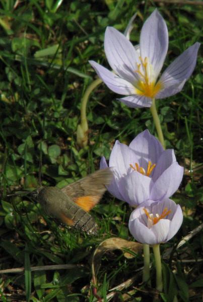 Macroglossum stellatarum, (NL: kolibrivlinder) on Crocus pulchellus (meadow just after entrance to Uludağ Millî Parkı, 1350m)