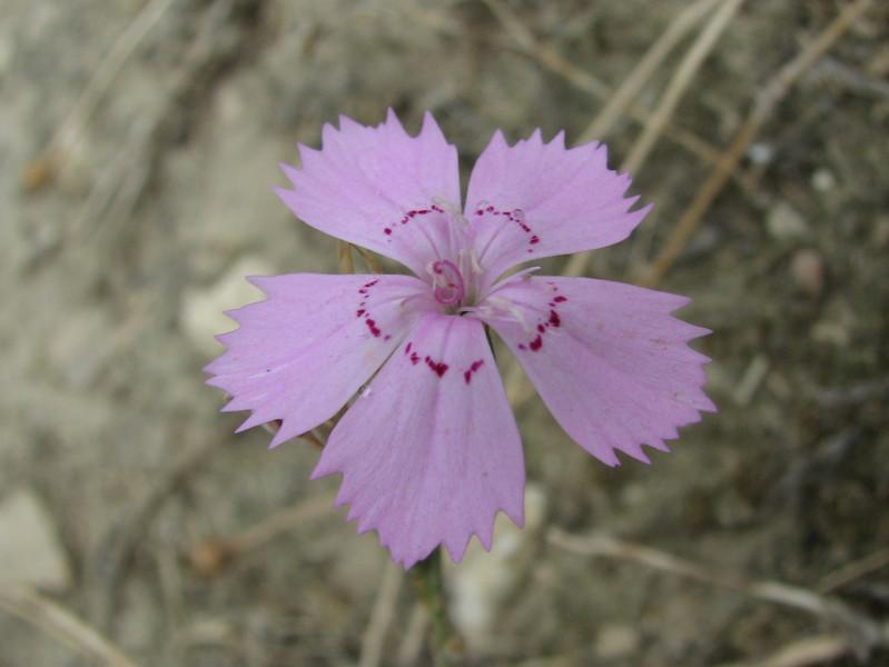 Dianthus elegans Hierapolis (Pamukkale)