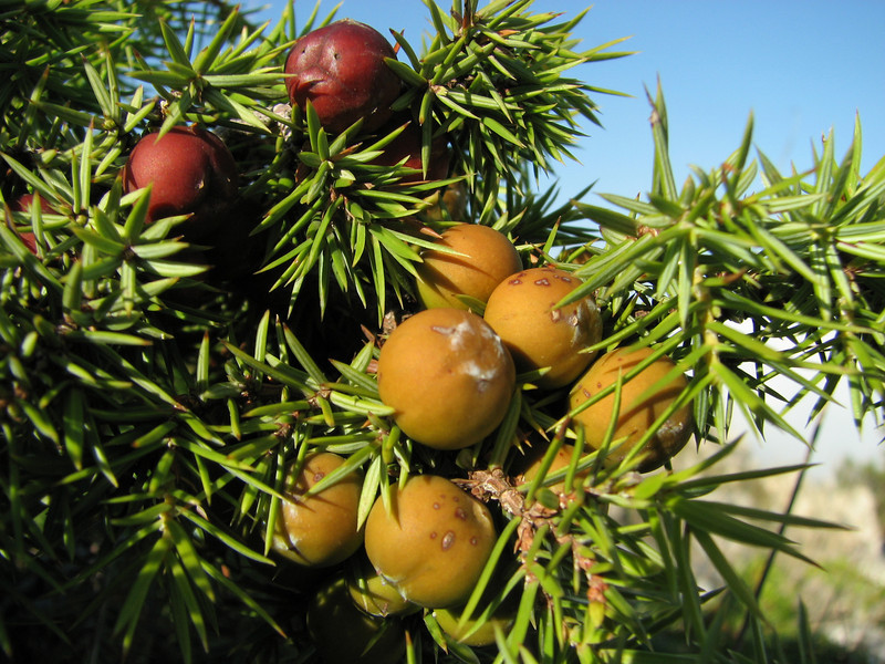 Juniperus oxycedrus ssp. oxycedrus (along road from Manisa on Spil Dağı, about 1000m altitude)