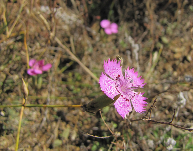 Dianthus zonatus var. zonatus (east of Bozdağ, road up in the mountains, from a pass on foot to 1770m, Bozdağlar)