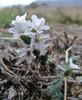 Heliotropium spec.  Hierapolis (Pamukkale)
