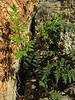 Cheilanthes spec. (Limestone hillside just outside of Bozburun)