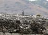 Sitta neumayer (NL: Rotsklever) Hierapolis (Pamukkale)