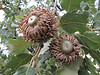 acorn of Quercus aegilops (Between Nazilli and Beydağ, before pass, 350m altitude, 15km N of Nazilli, Aydin Dağlari)