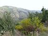? (Between Nazilli and Beydağ, before pass, 350m altitude, 15km N of Nazilli, Aydin Dağlari)