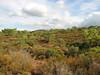 Colchicum lingulatum ssp. rigescens or C. balansae? - some plants slightly tesselated (About 10 km past junction to Bozburun on the Marmaris - Datça road, about 150m altitude on serpentine)
