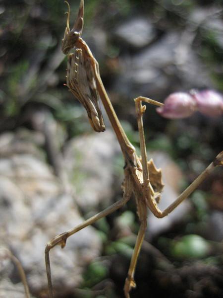 Mantis spec. (NL: bidsprinkhaan)(Between Turgut Köy and Bozburun)