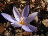 Crocus pulchellus in deciduous woodland of Quercus spec. (Between Bursa and Uludag, 900m altitude)