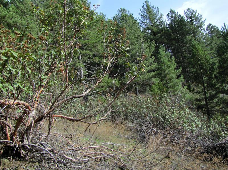 Cistus spec. (Above Buldan, Süleymani Köyü Kamp Yeri, 1200m, near lake, margins of Pinus nigra ssp. pallasiana woodland)