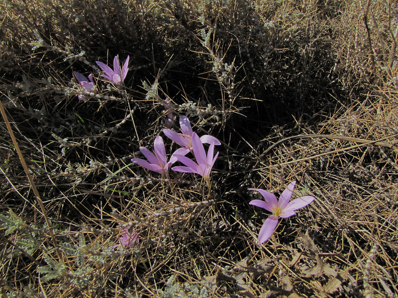 Colchicum boissieri (east of Bozdağ, road up in the mountains, from a pass on foot to 1770m, Bozdağlar)