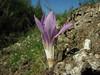 Colchicum aff. balansae / chalcedonicum ssp. punctatum - a double form (on micaschist North of Milas)