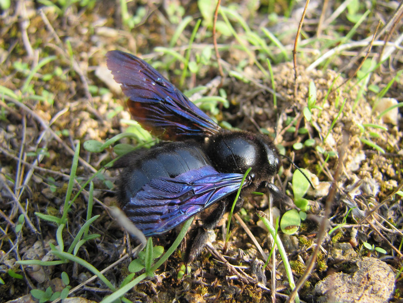 Xylocopa violacea (NL: blauwzwarte houtbij) (road south of Ödemis, Aydin Dağlari)