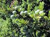 fruit of Juniperus communis (Uludag)