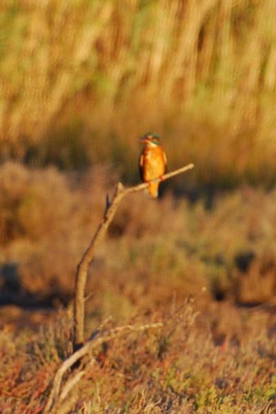 Alcedo atthis, Kingfisher (NL: ijsvogel)