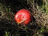 Amanita muscaria ? (NL: vliegenzwam) (Uludag)