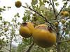 fruit of Crataegus spec. (Between Nazilli and Beydağ, before pass, 350m altitude, 15km N of Nazilli, Aydin Dağlari)