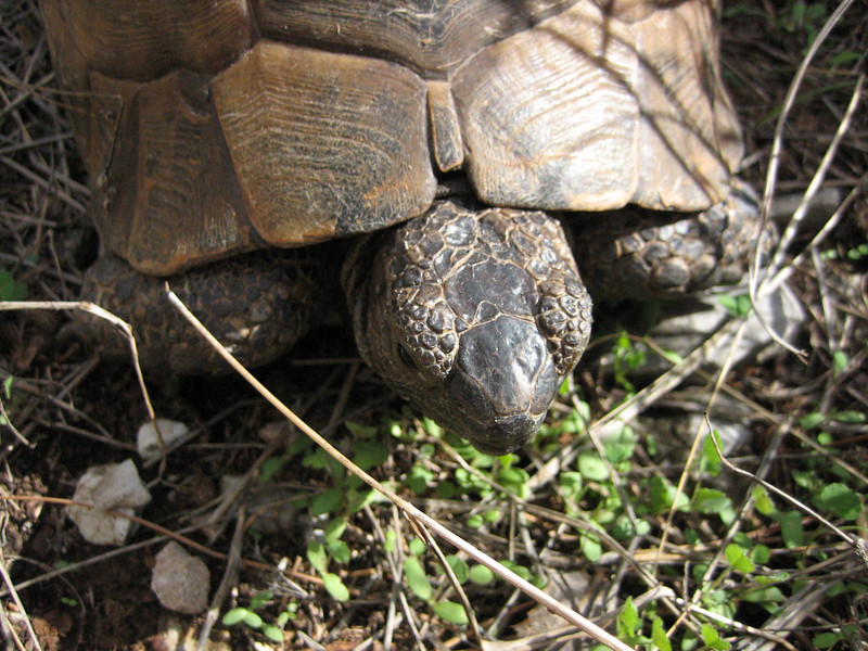 Testudo graeca (NL: Moorse landschildpad) (Near Turgut Köy)
