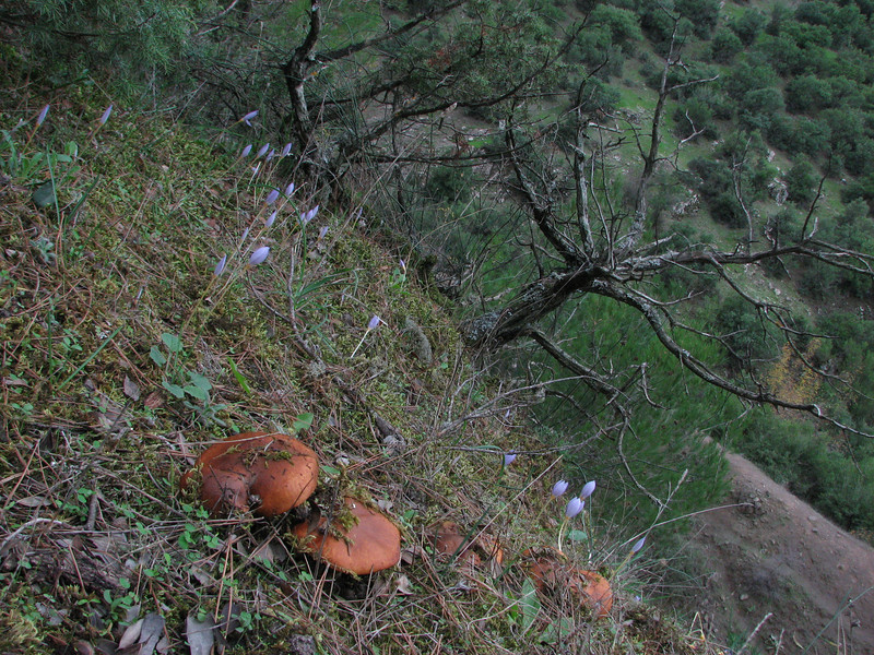 habitat of Suillus variegatus (NL: fijnschubbige boleet) and Crocus pulchellus (Along road between Balikesir and Dada, at about 350m altitude and about 35km east of Balikesir)