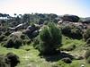 Pinus pinea and Pinus brutia (A few kilometres south of Labranda)