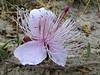 Capparis spinosa, Hierapolis (Pamukkale)