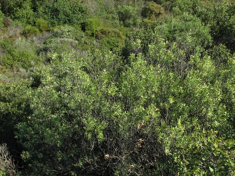 Daphne gnidium (Fossil Dunes, ten km east of Datça, Datça Peninsula)