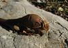 bulb of Colchicum balansae (only for determination purpose) (Limestone hillside just outside of Bozburun)