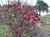 fruit of Crataegus spec. (Beydağ, before pass, 400m. N of Nazilli, Aydin Dağlari)