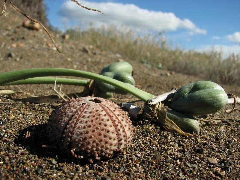 Pancratium maritimum and a Sea Urchin skeleton (Fossil Dunes, ten km east of Datça, Datça Peninsula)
