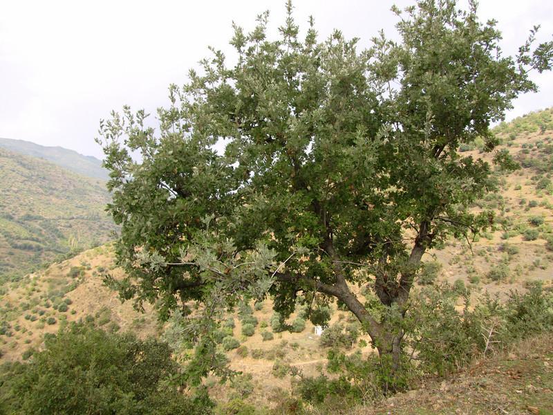 Quercus aegilops (Between Nazilli and Beydağ, before pass, 350m altitude, 15km N of Nazilli, Aydin Dağlari)