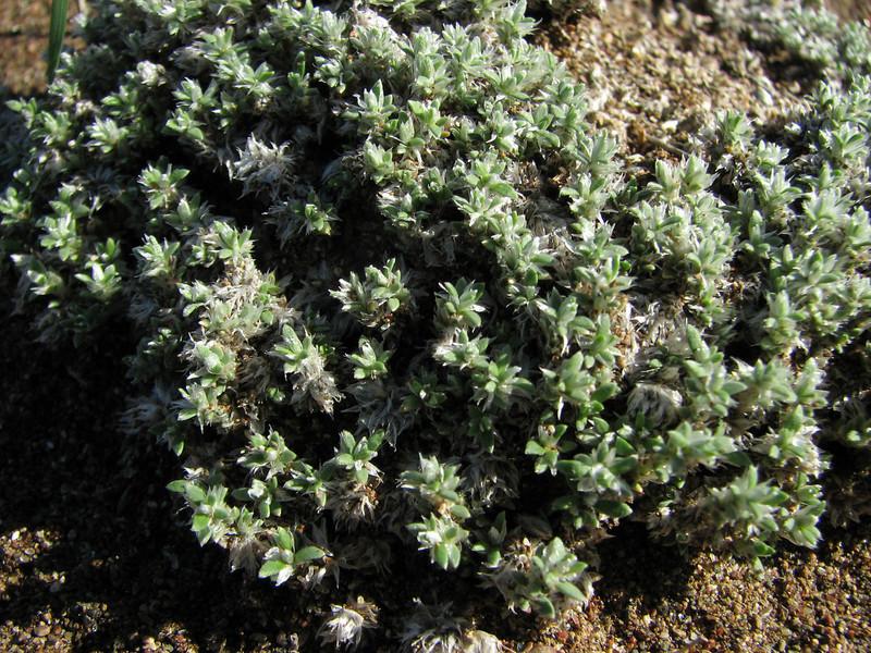 Paronychia spec. (Fossil Dunes, ten km east of Datça, Datça Peninsula)