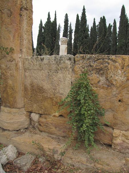 Capparis spinosa on the ruines of Hierapolis (Pamukkale)