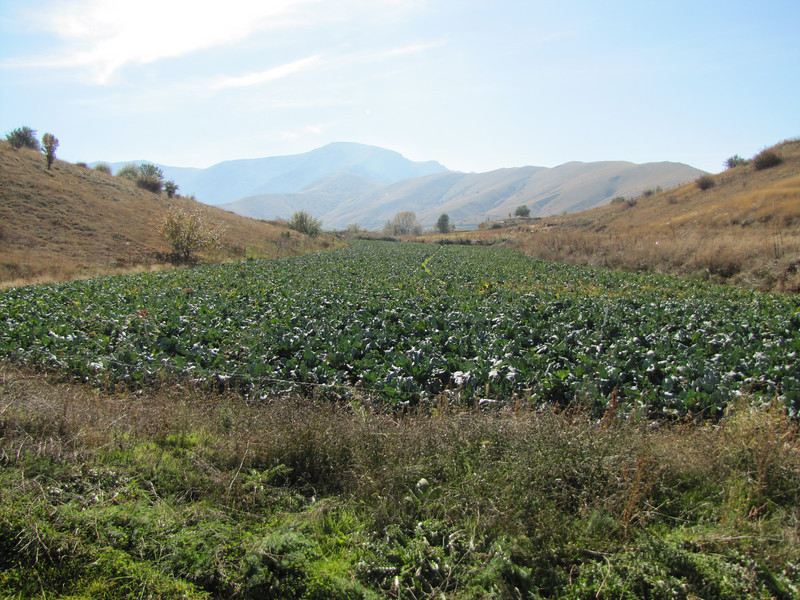 Brassica cultivation (east of Bozdağ, road up in the mountains, from a pass on foot to 1770m, Bozdağlar)