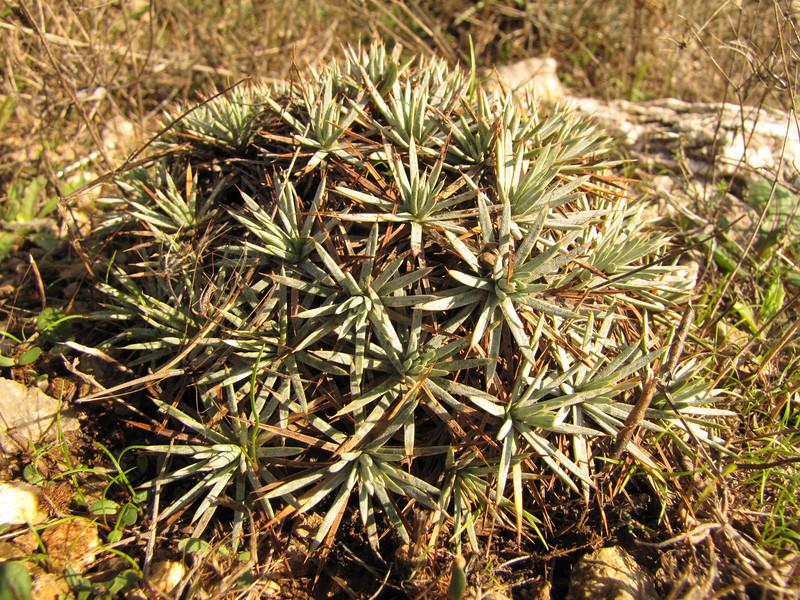 Acantholimon acerosum var. acerosum (along road from Manisa on Spil Dağı, at about 1000m altitude)