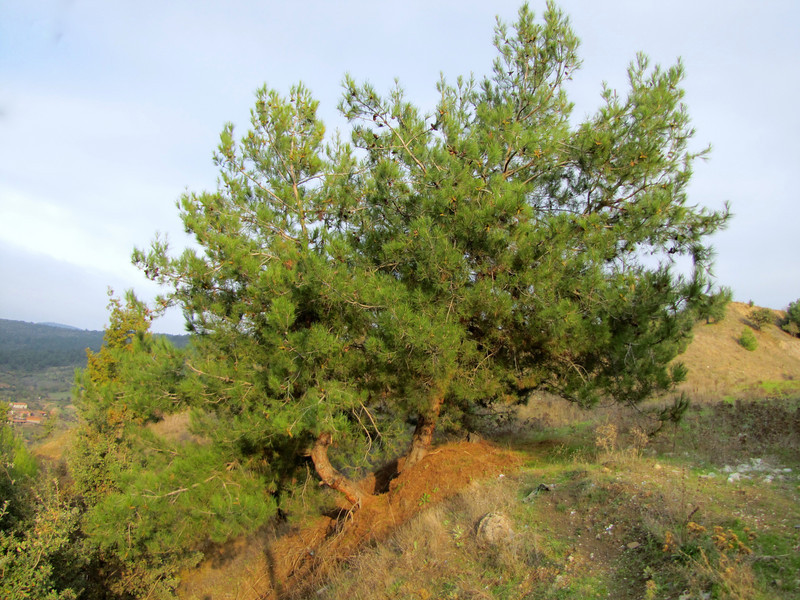 Pinus brutia (Along road between Balikesir and Dada, at about 350m altitude and about 35km east of Balikesir)