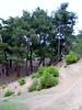 Pinus brutia  (Beydağ, before pass, 400m. N of Nazilli, Aydin Dağlari)