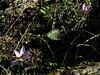 Crocus nerimaniae and Cyclamen mirabile (North of Milas)