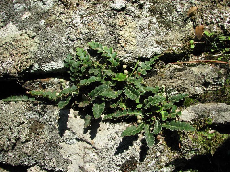 Ceterach officinarum (North of Milas)