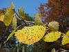Populus tremula (Uludag)