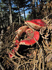Russula sanguinea (syn. R. sanguinaria) (Between Bursa and Uludag, 1000m altitude)