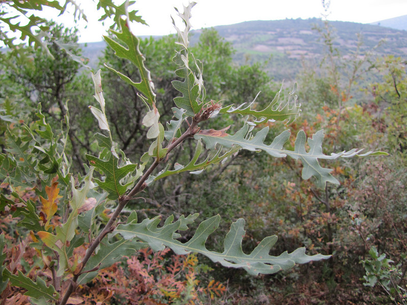 Quercus cerris? (Along road between Balikesir and Dada, at about 350m altitude and about 35km east of Balikesir)