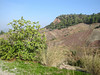 Ficus carica (Bozdağlar, south of Salihli, along road, mica schist habitat)