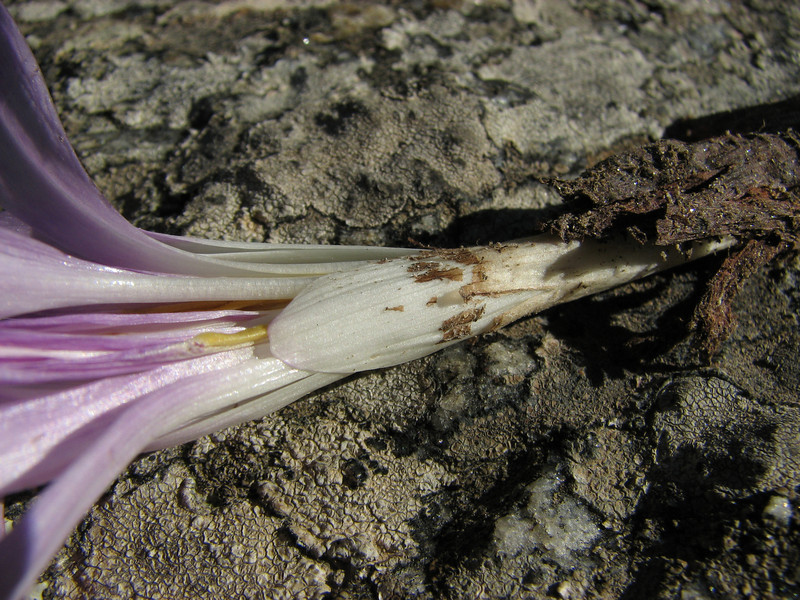 bulb of Colchicum aff. balansae / chalcedonicum ssp. punctatum - a double form (only for determination) (on micaschist North of Milas)