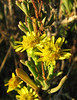 Inula crithmoides (west of Turburgazi, southern coast of Dilek Peninsula)