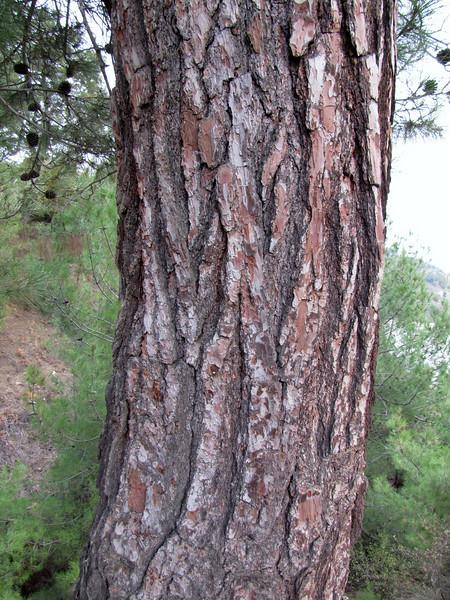 trunk of Pinus brutia  (Beydağ, before pass, 400m. N of Nazilli, Aydin Dağlari)