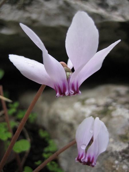 Cyclamen hederifolium ssp. hederifolium (2 km on Bozburun junction from Marmaris - Datça road, limestone, 15m altitude)