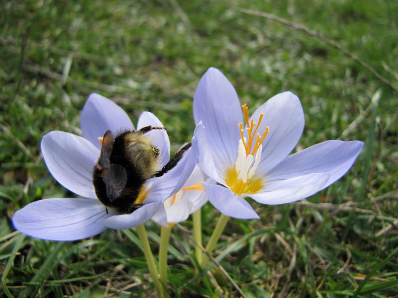 Bombus terrestris (NL: aardhommel) on Crocus pulchellus (meadow just after entrance to Uludağ Millî Parkı, 1350m)