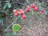 Cotoneaster spec. (Along road between Balikesir and Dada, at about 350m altitude and about 35km east of Balikesir)