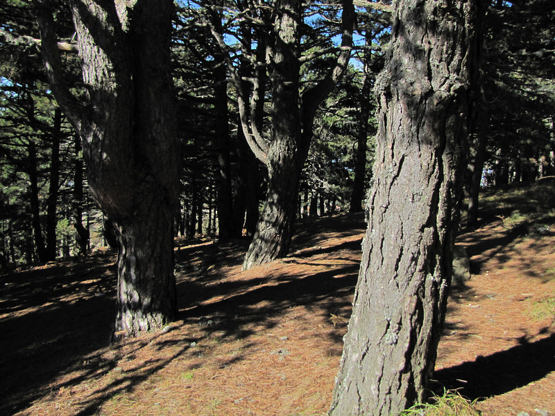 trunks of Pinus nigra ssp. pallasiana (Between Bursa and Uludag, 1000m altitude)